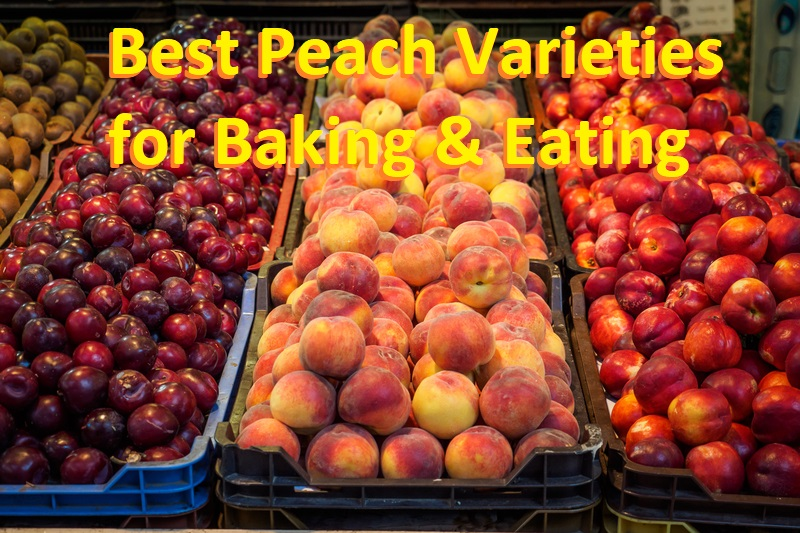 Best Peach Varieties For Baking and Eating